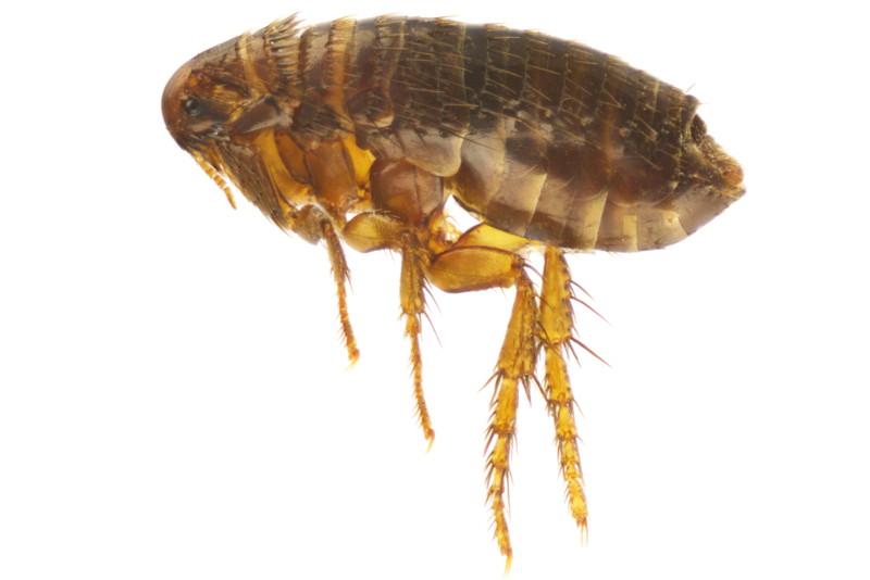 Flöhe, Ctenocephalides canis, Ctenocephalides felis, Pulex irritans, Siphonaptera, Xenopsylla cheopis