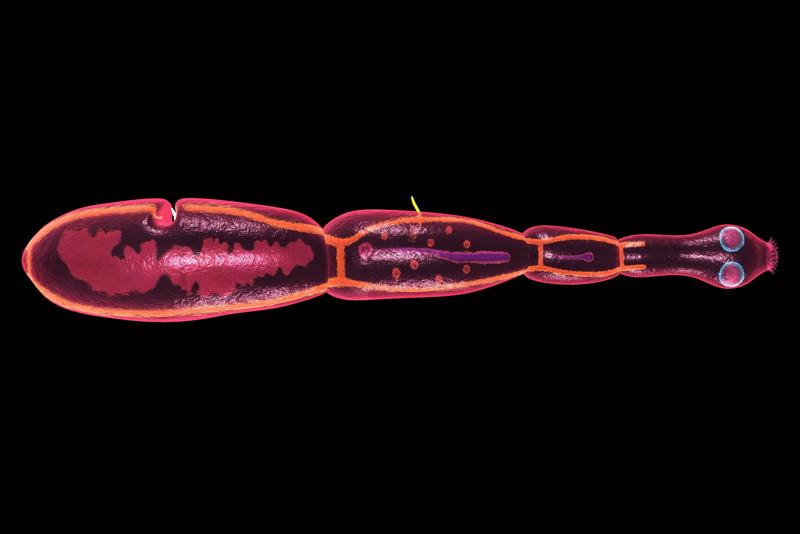 Fuchsbandwurm, Echinococcus granulosus, Echinococcus multilocularis, Hundebandwurm