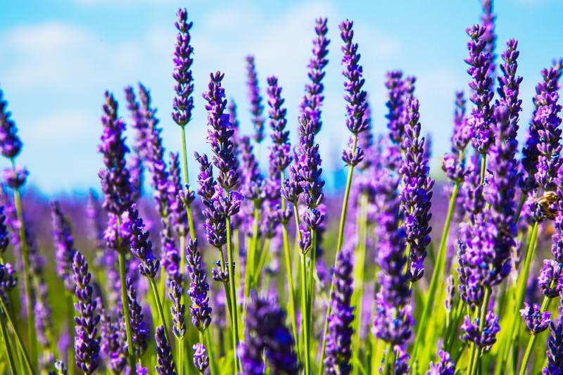 Lavendel, Echter Lavendel, Lavander, Lavendelkraut, Lavendula angustifolia, Lavendula officinalis, Narden, Speik, Zöpfli