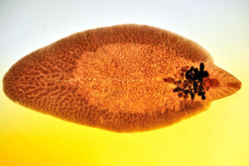 Leberegel, Dicrocoelium dendriticum, Fasciola hepatica, Großer Leberegel, Kleiner Leberegel, Lanzettegel