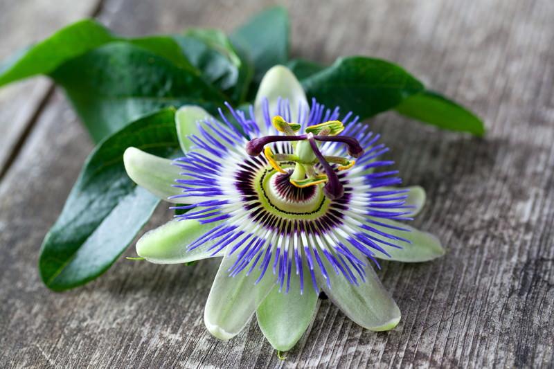 Passionsblume, Passiflora incarnata