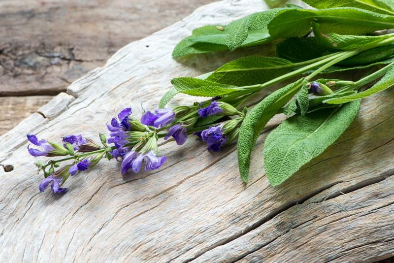 Salbei, Dalmatinischer Salbei, Salvia officinalis